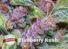 blueberry kush Strain