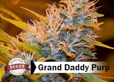 grand daddy purple Strain