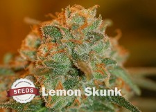 lemon skunk Strain