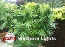 northern lights Strain