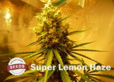 super lemon haze Strain