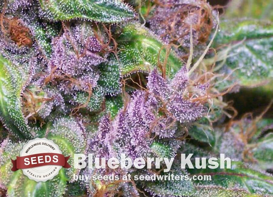 Blueberry Kush Seeds