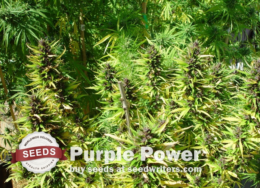 Purple Power Seeds