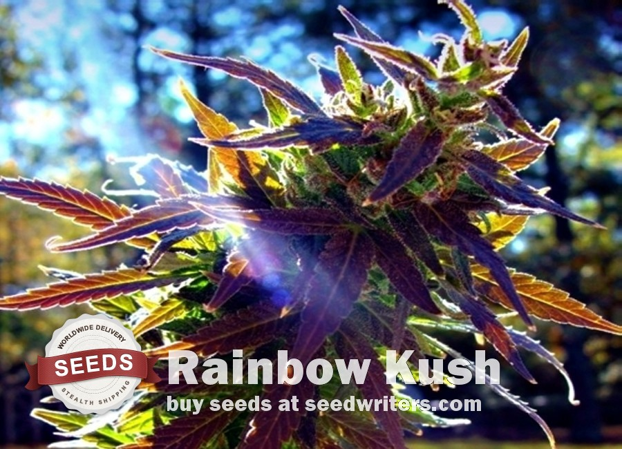 Rainbow Kush Seeds
